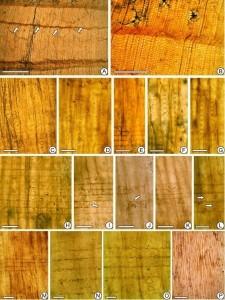 辽西北票下白垩统义县组发现的北票崖柏型木化石(新种)及解剖构造特征