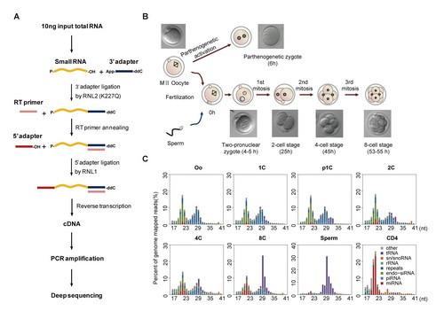 小鼠卵细胞和早期胚胎中微量小RNA深度测序方法原理及其测序结果。(A)微量小RNA深度测序cDNA文库构建流程图。(B)小鼠卵细胞以及早期胚胎发育各个时期的样本。(C)不同样本中小RNA的组成及长度分布图。小鼠CD4+ T细胞(CD4)是体细胞对照