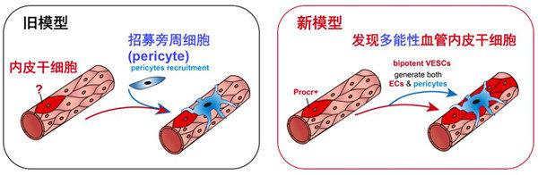 血管生长的两种模型