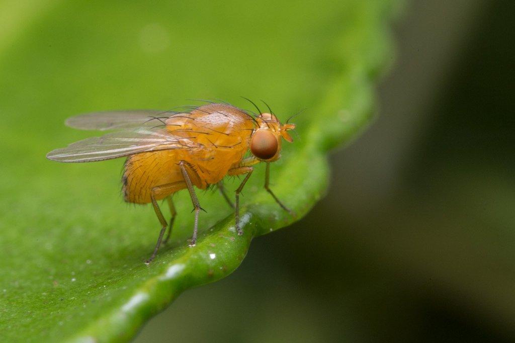 演化论的预测力:突变在果蝇翅演化中的作用