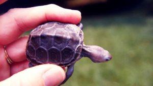 请让您的孩子远离宠物乌龟:宠物龟可引起沙门氏菌感染
