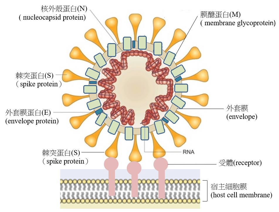 什么是冠状病毒 ? 专业学者解释不同的 冠状病毒