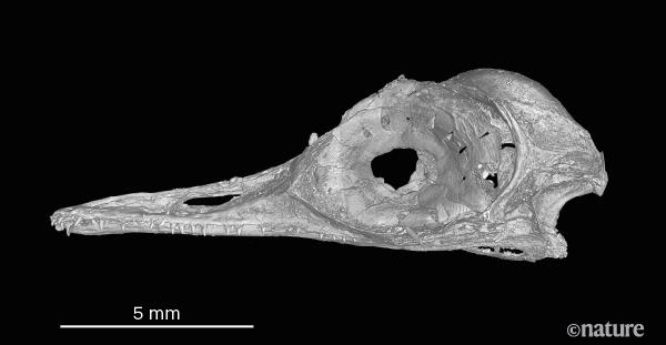 眼齿鸟头部CT重建图