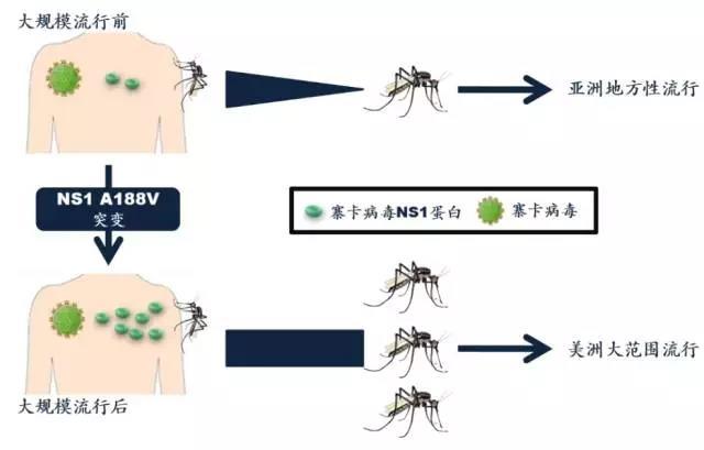 寨卡病毒是如何感染暴发的?