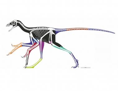 利用激光诱导萤光技术重塑的近鸟龙身体轮廓(一种带羽毛,类似鸟类的恐龙)。着了色的部分代表不同的标本;黑色部分是利用可信度相对低的数据估计的。这是古生物学家首次准确重塑和鸟类相近的恐龙的身体轮廓。近鸟龙的身长(头至尾)约40厘米。图片提供:Wang XL, Pittman M等(2017)